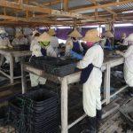 vietnam pearl farm
